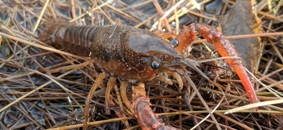 AZ has two species of crayfish in the wild: red swamp crayfish, pictured here, and northern crayfish. Credit: Jeff Sorensen